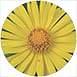 arnica-flower2